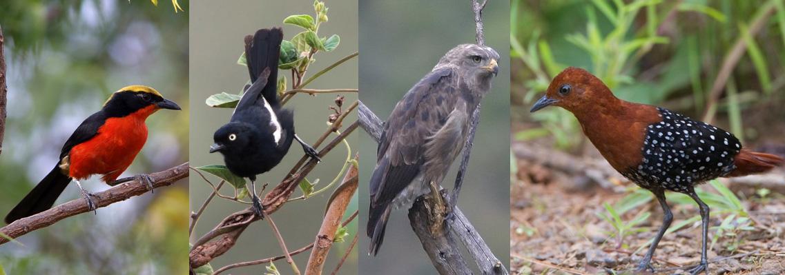 birding-Mabamba
