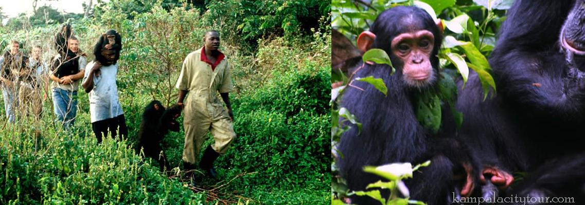 kibale-chimps-tour