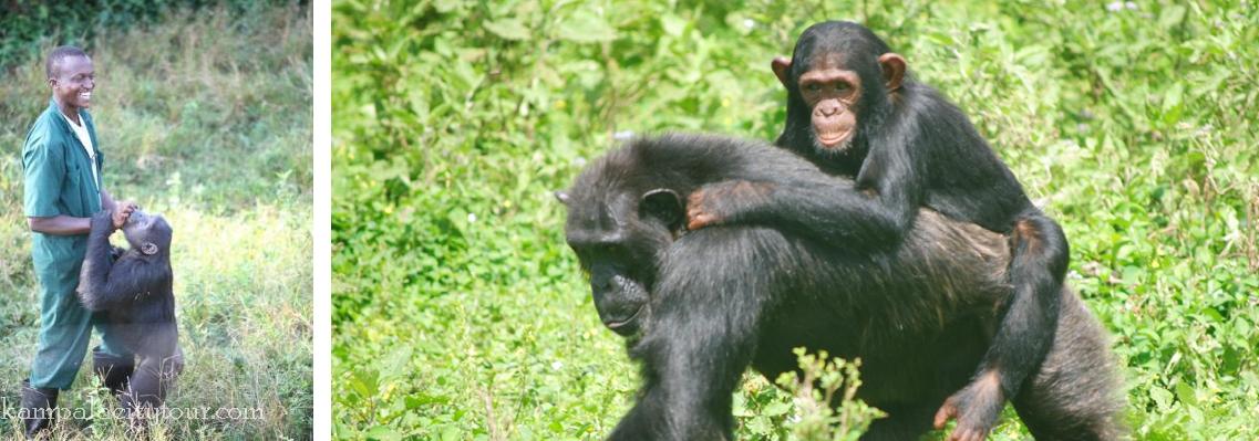 ngamba-highland-chimps